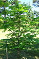 Pterocarya fraxinifolia - Arnold Arboretum - DSC06840.JPG