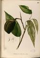 Pterygota alata Blanco2.401-original.png