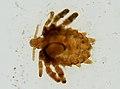 Pthirus pubis (YPM IZ 093642).jpeg