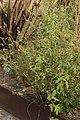 Puccinia malvacearum on Marsh-Mallow - Althaea cf. officinalis (45598961292).jpg