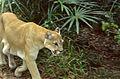 Puma (Puma concolor) (21648085853).jpg