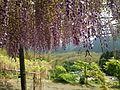 Purple wisteria in Kawachi Wisteria Garden 20150509-11.JPG
