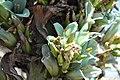 Puya alpestris ssp zoellnerii Cuesta Chacabuco 03.jpg