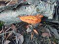 Pycnoporus cinnabarinus ycnoporus cinnabarinus in the woods of Kerava, FinlandC H9715.jpg