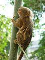 Pygmy marmoset (Cebuella pygmaea) climbing tree.jpg