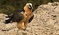 Quebrantahuesos (Gypaetus barbatus) Bearded Vulture.jpg