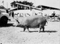 Queensland State Archives 1693 Champion Tamworth sow 1951.png