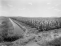 Queensland State Archives 1840 Tobacco farming Ayr November 1955.png