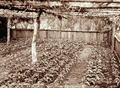 Queensland State Archives 2389 Seedling nursery at Bartletts Coffee Plantation Blackall Range c 1899.png