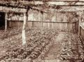Queensland State Archives 2389 Seedling nursery at Bartletts Coffee Plantation Blackall Range c 1899.png