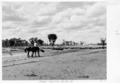 Queensland State Archives 5288 Sheep Quilpie Adavale Road Quilpie January 1955.png