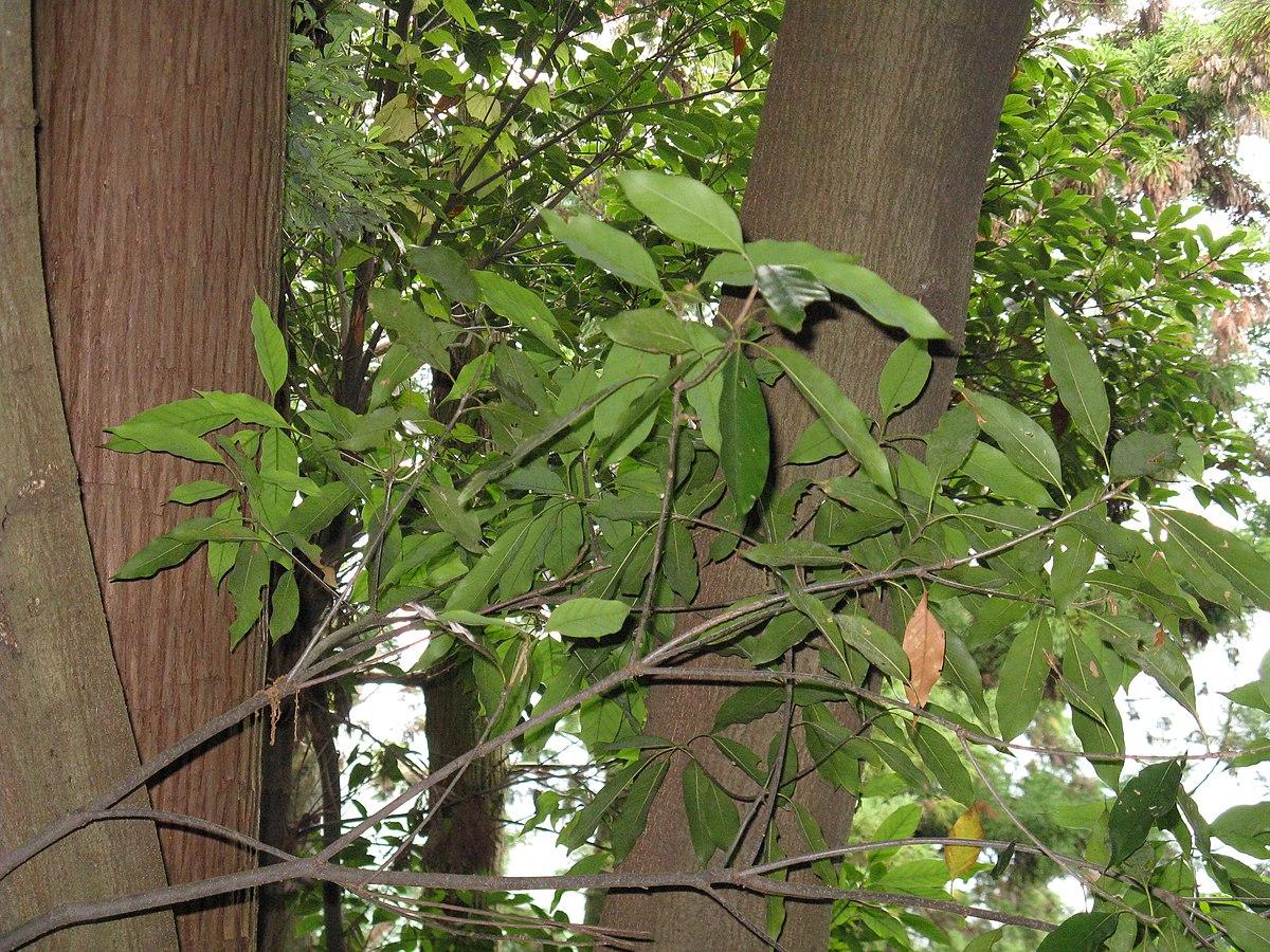 Quercus Congesta Lista de espéc...