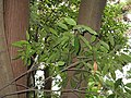 Quercus acuta3.jpg