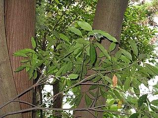 <i>Quercus acuta</i> Species of oak tree