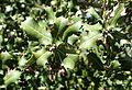Quercus coccifera kz4.jpg