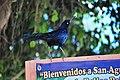 Quiscalus mexicanus SanAgustinillo.JPG