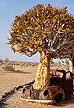 Quiver Tree and Car (37462128860).jpg