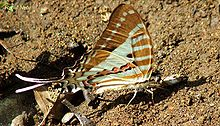 Spot swordtail seen mud-puddling at Yeoor, India