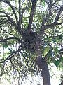 Racoon (Procyon lotor) on the Tree 2.jpg