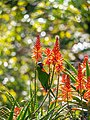 Rainbow lorikeet and Aloe sp inflorescences Arid Zone garden Brisbane Botanic Gardens Mt Coot-tha P1100032.jpg