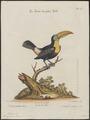 Ramphastos tucanus - 1700-1880 - Print - Iconographia Zoologica - Special Collections University of Amsterdam - UBA01 IZ19300265.tif