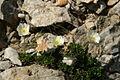 Ranunculus alpestris - melišče pod Veliko Martuljško Ponco (2).jpg