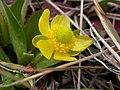 Ranunculus glaberrimus (5384213151).jpg