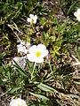 Ranunculus kuepferi03.jpg