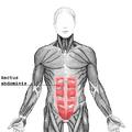 Rectus abdominis.png