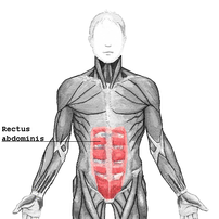 The human rectus abdominis muscle of the human...