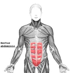 腹直筋 に対する画像結果