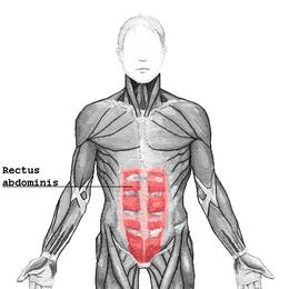 Muscle droit de l'abdomen — Wikipédia