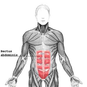 عضلة مستقيمة بطنية ويكيبيديا