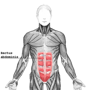 Linea semilunaris - Linea semilunares are at lateral borders of rectus abdominis.