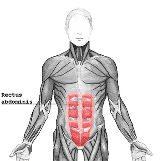 Rectus abdominis muscle paired muscle running vertically on each side of the anterior wall of the human (of some other mammals) abdomen