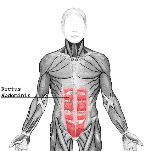 Vaina de los músculos rectos abdominales - Wikiwand