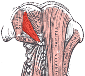Rectus capitis posterior major muscle - Image: Rectus capitis posterior major