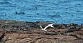 Red-beaked tropicbirds (4229086414).jpg