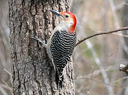 Red-bellied Woodpecker-27527-3.jpg