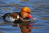 Red-crested-pochard.JPG