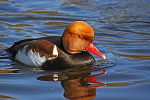 English: Red-crested pochard, Netta rufina, at...