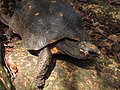 Red-footed Tortoise in Barbados 03.jpg