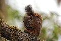 Red-tailed Squirrel (Sciurus granatensis) 2015-06-05 (4) (39599281604).jpg