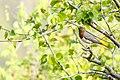 Red-throated thrush in Nepal (1).jpg