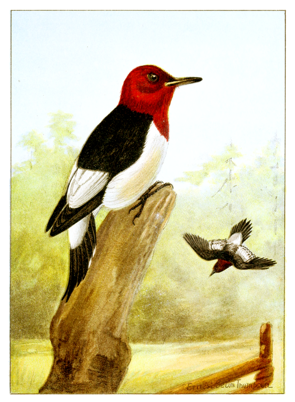 Red - headed Woodpecker-Bird-Life-0057-116.png