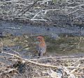 Red Crossbill (Loxia curvirostra) - Flickr - brewbooks.jpg