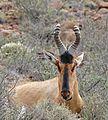 Red Hartebeest (Alcelaphus buselaphus) (32424992620).jpg