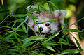 Red Panda (21568545733).jpg