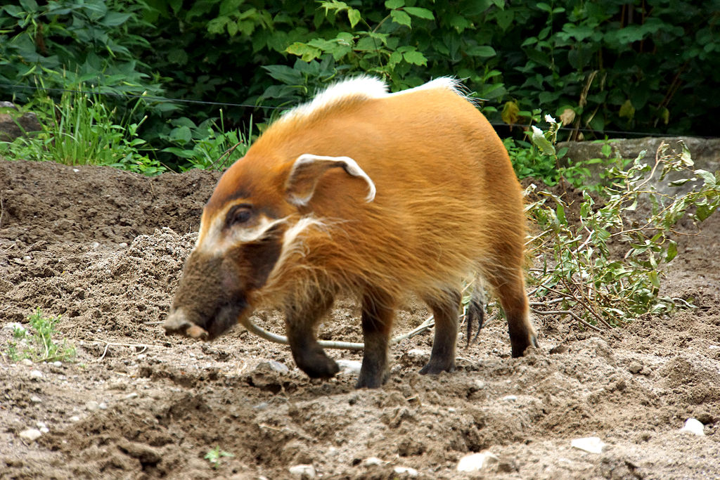 File Red River Hog Potamochoerus Porcus Toronto Zoo