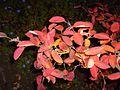 Red autumn leaves branch dark.jpg